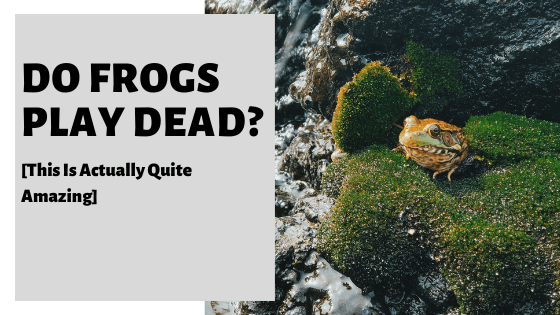 Do Frogs Play Dead? [This Is Actually Quite Amazing]