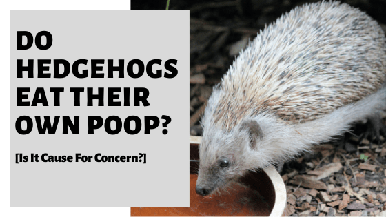 Do Hedgehogs Eat Their Own Poop? [Is It Cause For Concern?]