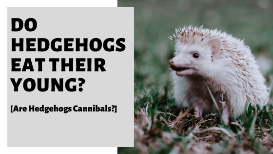 Do Hedgehogs Eat Their Young? [Are Hedgehogs Cannibals?]
