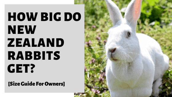 How Big Do New Zealand Rabbits Get? [Size Guide For Owners]