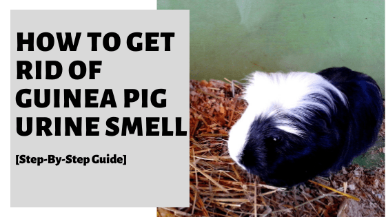 How To Get Rid Of Guinea Pig Urine Smell [Step-By-Step Guide]