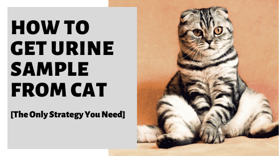 How To Get Urine Sample From Cat [The Only Strategy You Need]