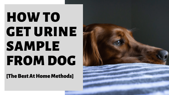 How To Get Urine Sample From Dog [The Best At Home Methods]