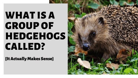 What Is A Group Of Hedgehogs Called? [It Actually Makes Sense]