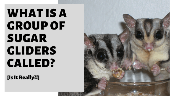 What Is A Group Of Sugar Gliders Called? [Is It Really?!]