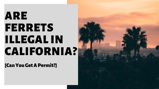 Are Ferrets Illegal In California? [Can You Get A Permit?]