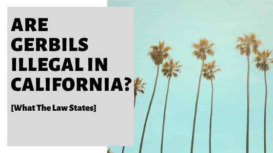 Are Gerbils Illegal In California? [What The Law States]