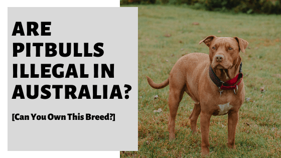 Are Pitbulls Illegal In Australia? [Can You Own This Breed?]