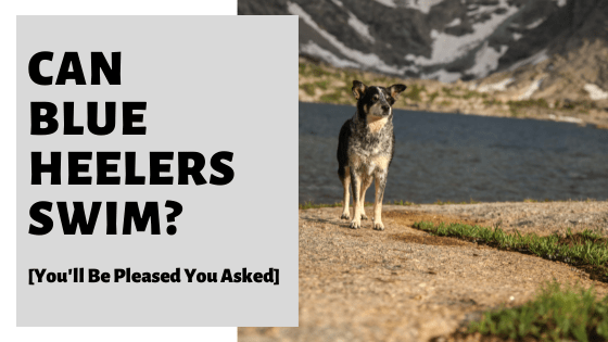 Can Blue Heelers Swim? [You'll Be Pleased You Asked]