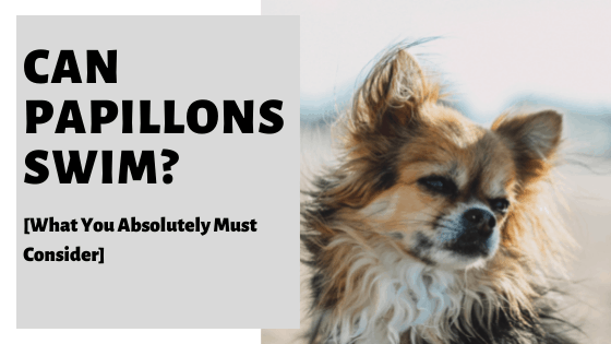 Can Papillons Swim? [What You Absolutely Must Consider]