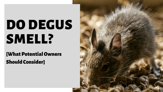 Do Degus Smell? [What Potential Owners Should Consider]