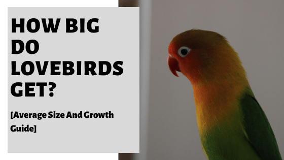 How Big Do Lovebirds Get? [Average Size And Growth Guide]