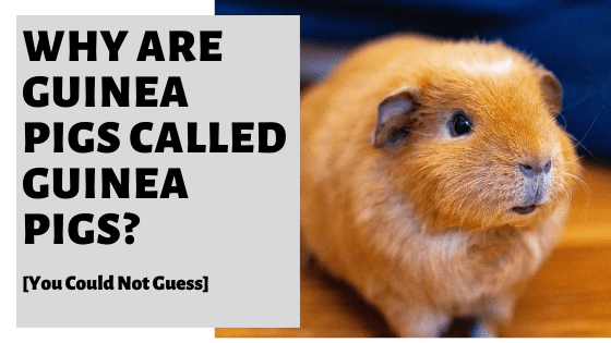 Why Are Guinea Pigs Called Guinea Pigs? [You Could Not Guess]