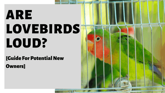 Are Lovebirds Loud [Guide For Potential New Owners]