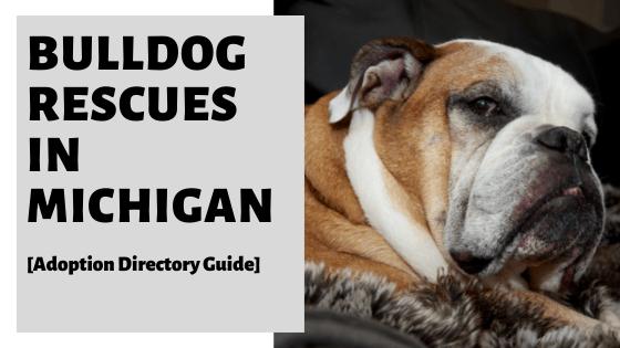 Bulldog Rescues In Michigan [Adoption Directory Guide]
