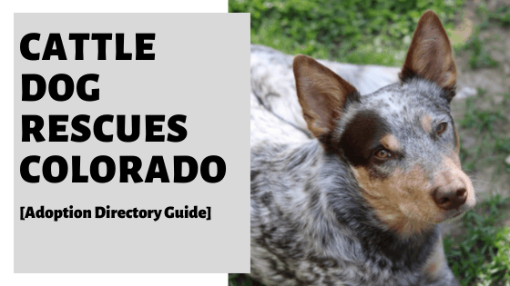 Cattle Dog Rescues Colorado [Adoption Directory Guide]