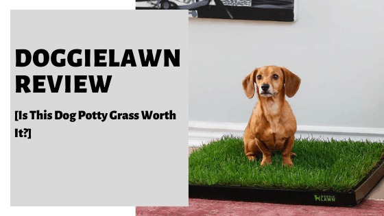 DoggieLawn Review [Is This Dog Potty Grass Worth It?]