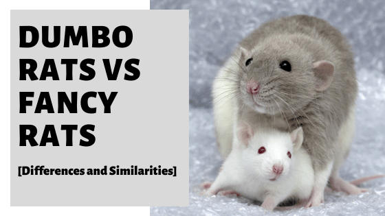 Dumbo Rats vs Fancy Rats [Differences and Similarities]
