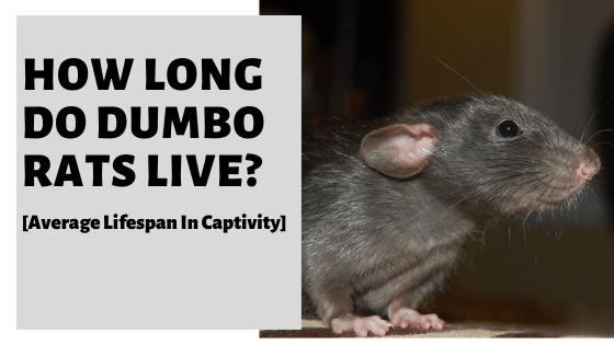 How Long Do Dumbo Rats Live? [Average Lifespan In Captivity]