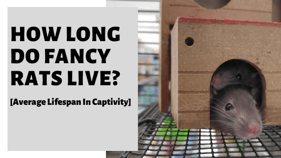 How Long Do Fancy Rats Live? [Average Lifespan In Captivity]