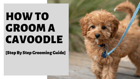 How To Groom A Cavoodle [Step By Step Grooming Guide]