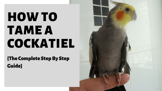 How To Tame A Cockatiel [The Complete Step By Step Guide]