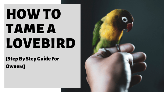 How To Tame A Lovebird [Step By Step Guide For Owners]