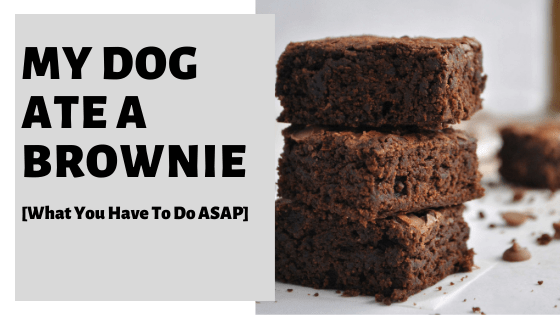 My Dog Ate A Brownie [What You Have To Do ASAP]