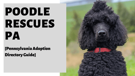 Poodle Rescues PA [Pennsylvania Adoption Directory Guide]