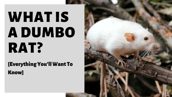 What Is A Dumbo Rat? [Everything You'll Want To Know]