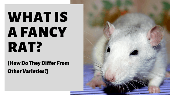 What Is A Fancy Rat? [How Do They Differ From Other Varieties?]