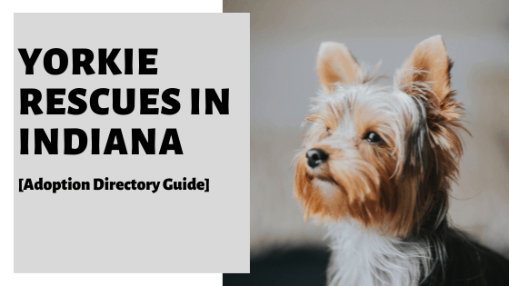 Yorkie Rescues Indiana