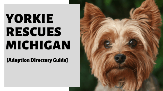 Yorkie Rescues Michigan [Adoption Directory Guide]