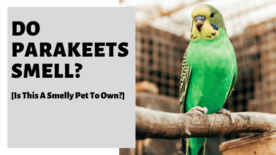 Do Parakeets Smell [Is This A Smelly Pet To Own]