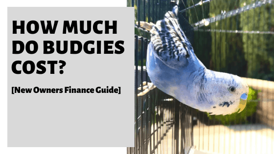 How Much Do Budgies Cost? [New Owners Finance Guide]