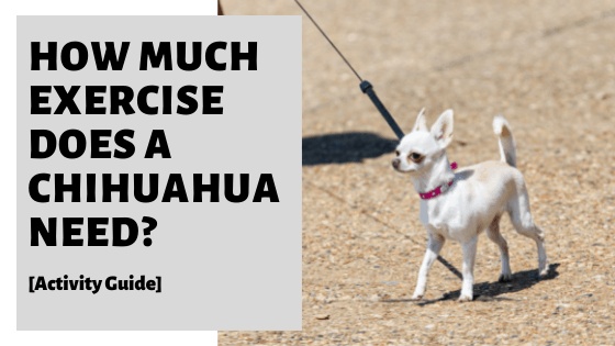 How Much Exercise Does A Chihuahua Need? [Activity Guide]