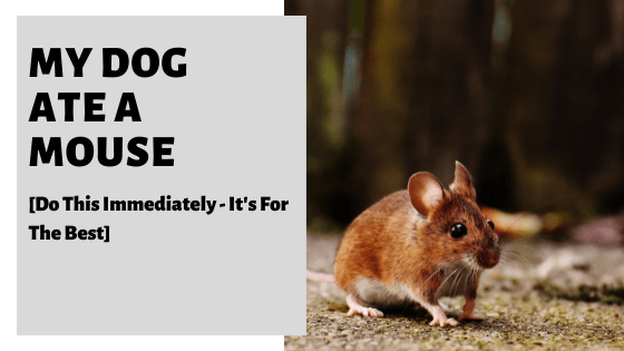 My Dog Ate A Mouse [Do This Immediately - It's For The Best]