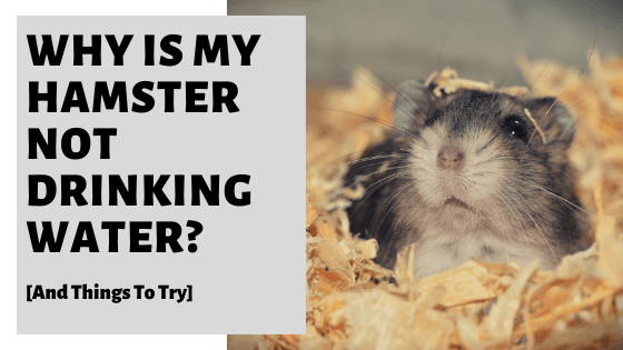 Why Is My Hamster Not Drinking Water? [And Things To Try]