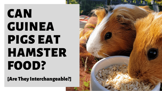 Can Guinea Pigs Eat Hamster Food? [Are They Interchangeable?]