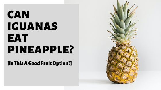 Can Iguanas Eat Pineapple? [Is This A Good Fruit Option?]