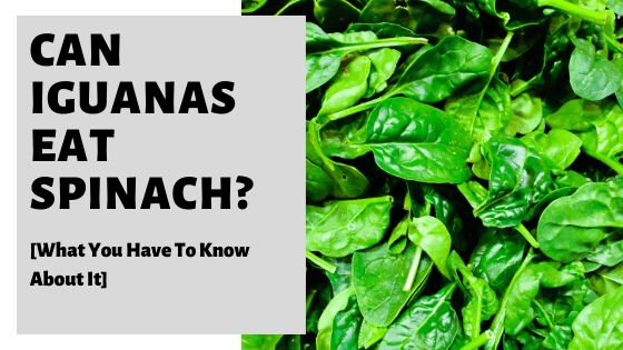 Can Iguanas Eat Spinach? [What You Have To Know About It]