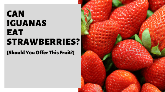 Can Iguanas Eat Strawberries? [Should You Offer This Fruit?]