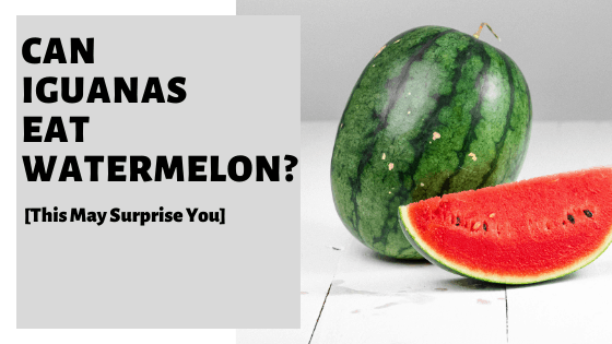 Can Iguanas Eat Watermelon? [This May Surprise You]