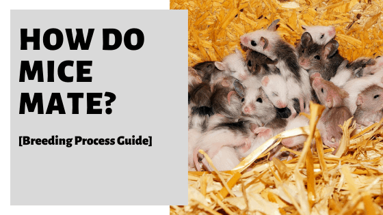 How Do Mice Mate? [Breeding Process Guide]