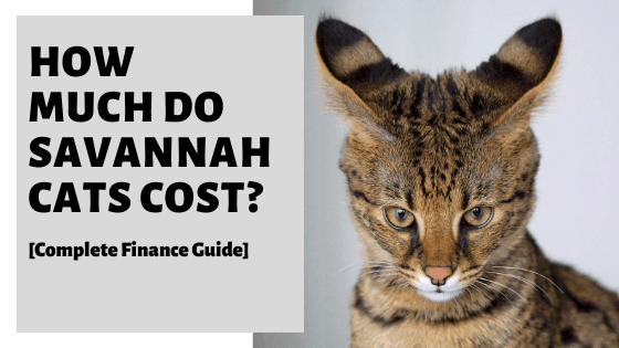 How Much Do Savannah Cats Cost? [Complete Finance Guide]