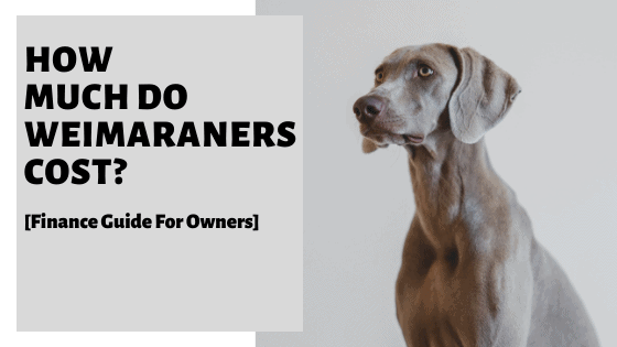 How Much Do Weimaraners Cost [Finance Guide For Owners]