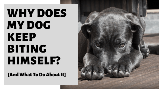 Why Does My Dog Keep Biting Himself? [And What To Do About It]
