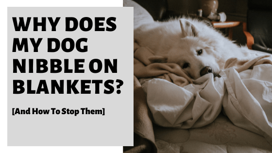 Why Does My Dog Nibble On Blankets? [And How To Stop Them]