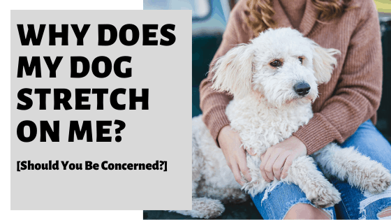 Why Does My Dog Stretch On Me? [Should You Be Concerned?]