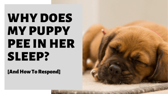 Why Does My Puppy Pee In Her Sleep? [And How To Respond]